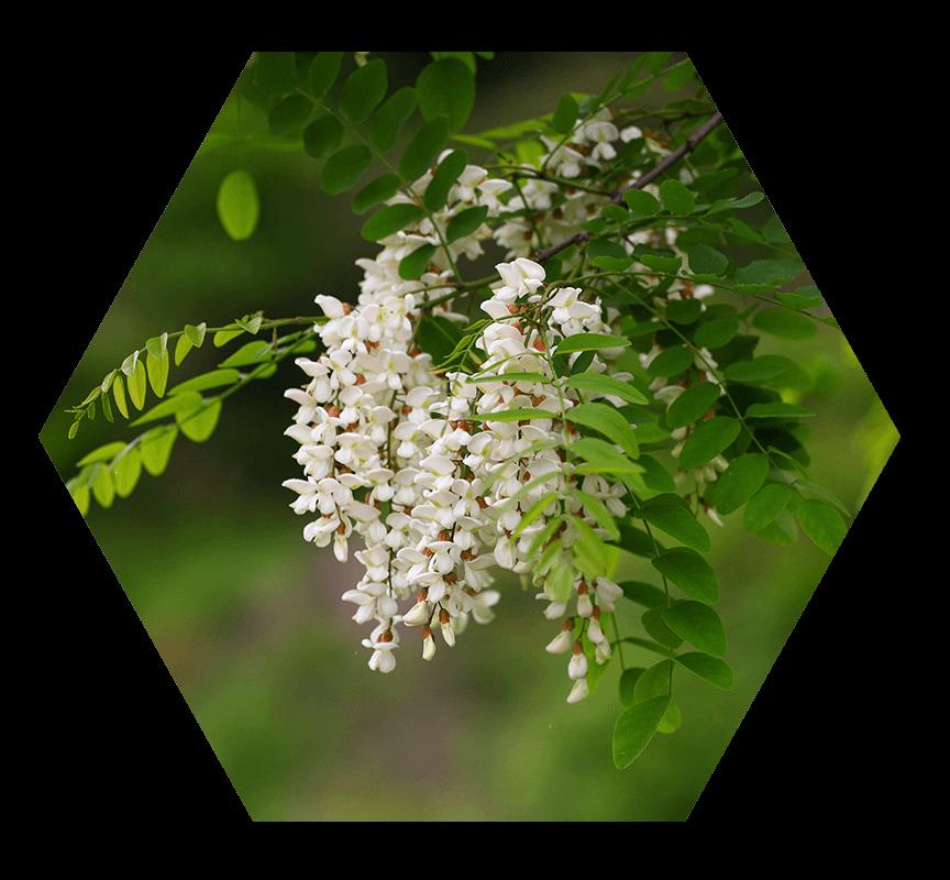 miel-d-acacia